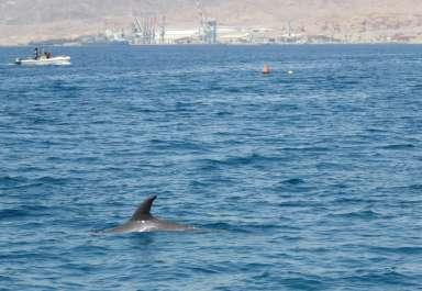 דולפינן בחוף הצפוני באילת