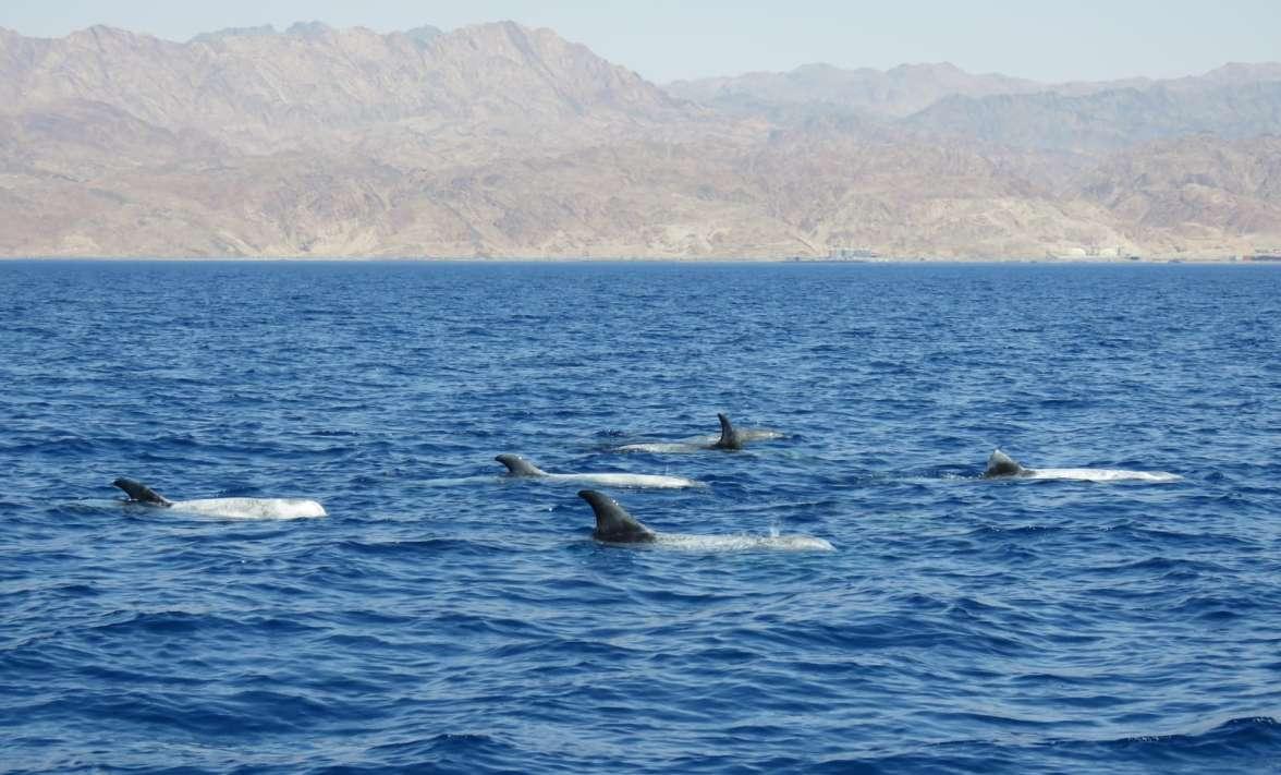 דולפינים3- צילום ערן גיסיס