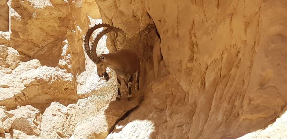 Ibex rescue operation (4)