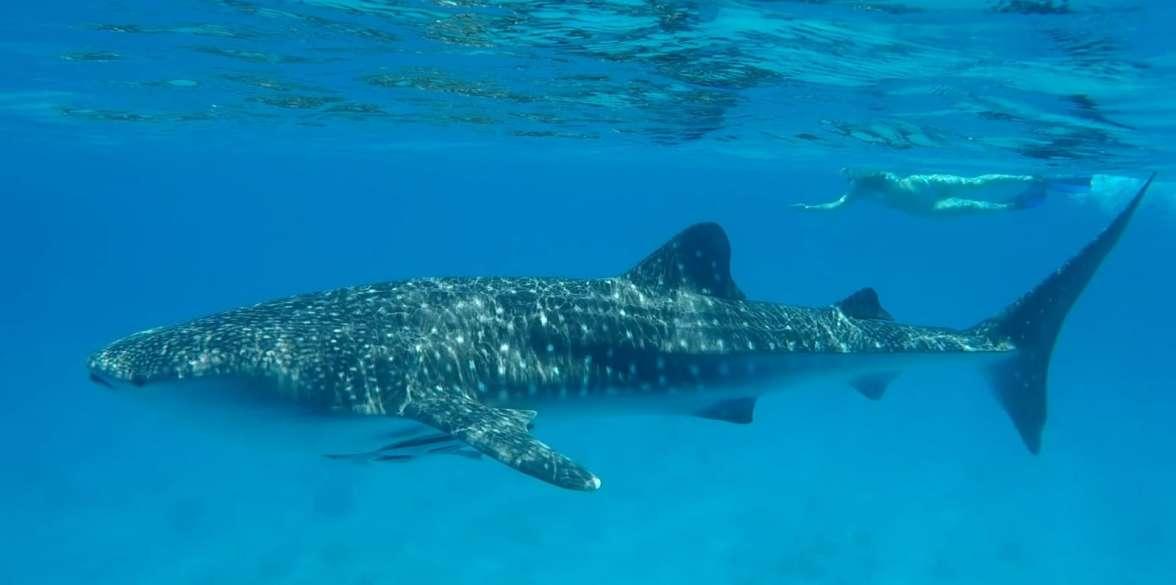 כריש לוויתן  - צילמה שני אלוש, מתנדבת ברשות הטבע והגנים