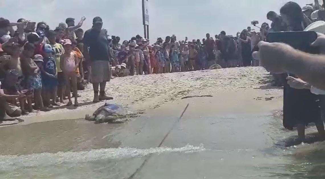 צבת ים ממושדרת שהושבה לטבע