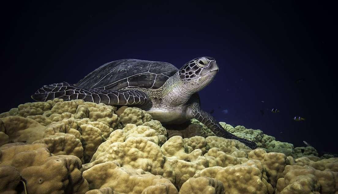 צבת ים ירוקה