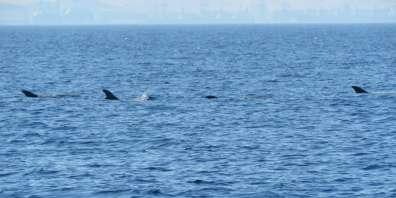 דולפינים מסוג גרמפוס במפרץ אילת