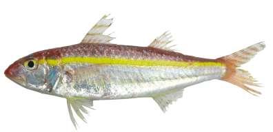דג בוגר - מין פולש אופון זהוב פס Upeneus moluccensis צילום: עוז ריטנר
