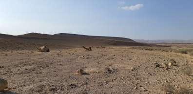 גמלים בגב ימין