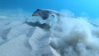 טריגון (Dasyatis spp) בשמורת ים גדור - צילום: הראל בז