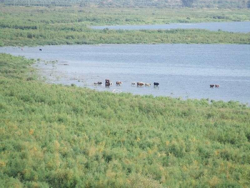 פרות רוחצות בכנרת -עמית דולב