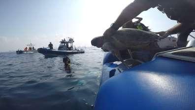 שחרור צבת ים - צילם גיא לויאן