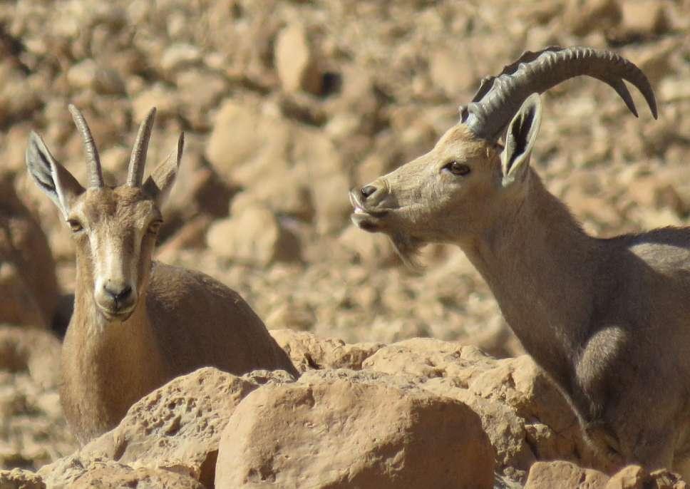 ספירת יעלים 2019 בערבה הדרומית - צילם עומרי עומסי, רשות הטבע והגנים