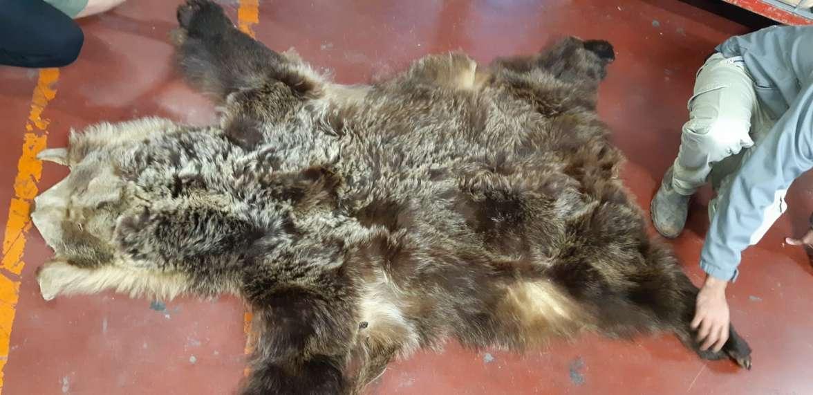 פרוות הדב שנתפסה בחבילה - צילום רועי גלעד רשות הטבע והגנים