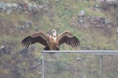 נשר פורש כנפיים על כלוב אקלום- אבירם שני