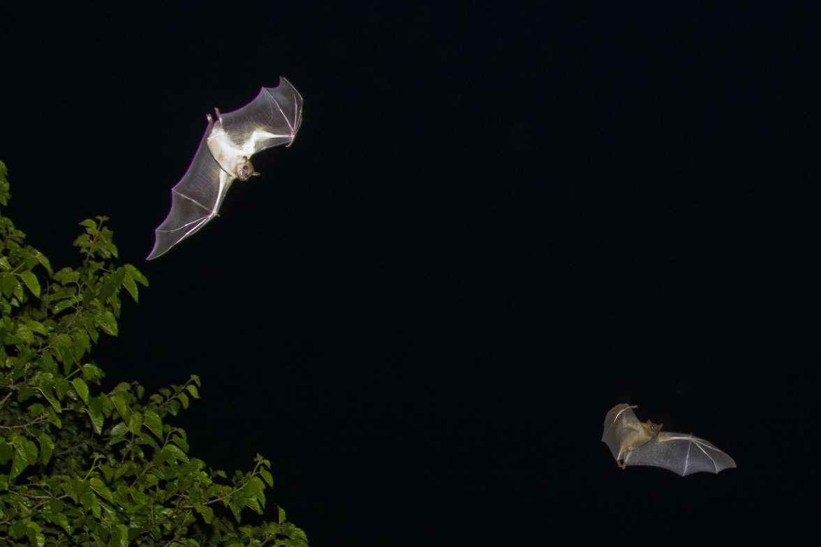 עטלף פירות אייל ברטוב