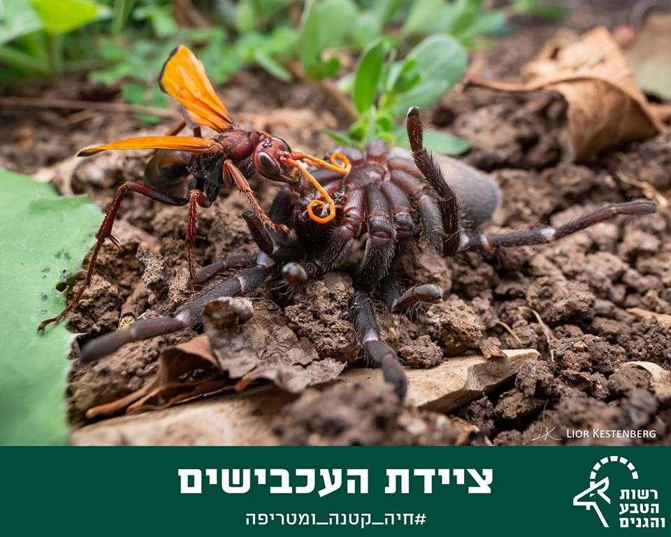 מכסחת עכבישים - ליאור קסטנברג