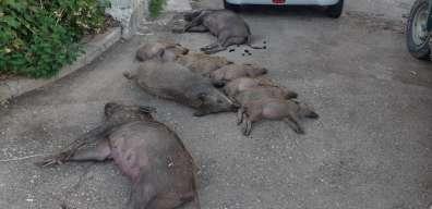 חזירים שהורעלו - צילם אורן חן