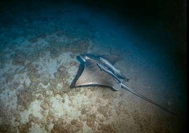 עטלף ים - טחן פרי - צילם שבי רוטמן