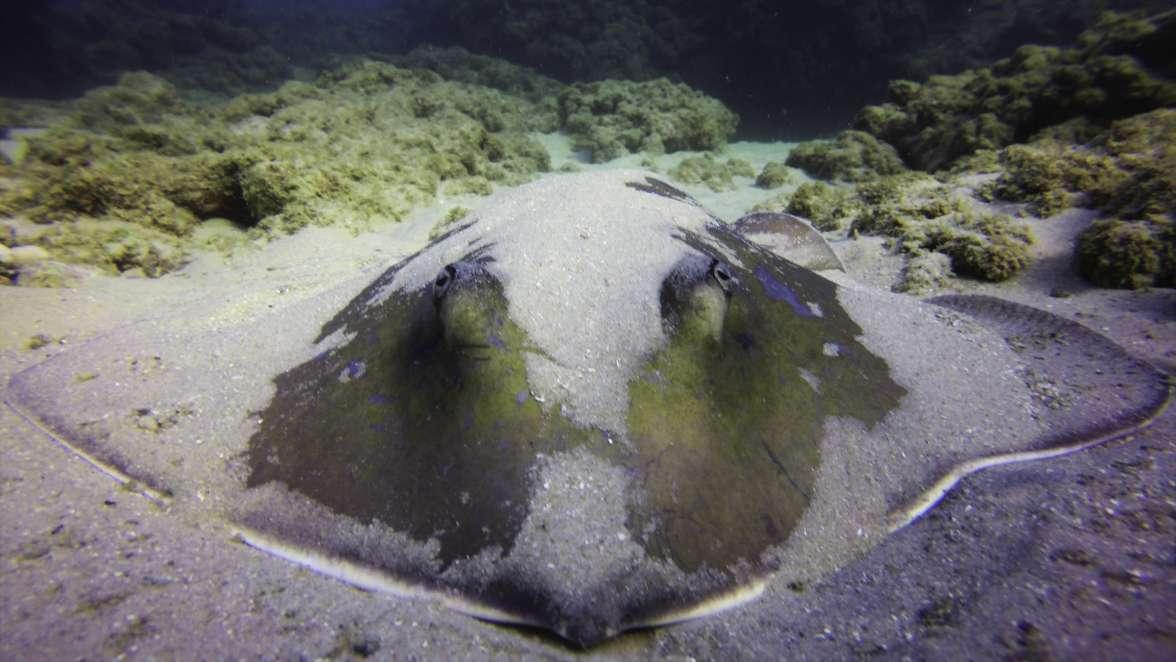 טריגון בשמורת גדור. לטריגונים גוף מעוין ובשחייתם הם נראים כאילו הם מעופפים במים. צילום: שחר חייקין.