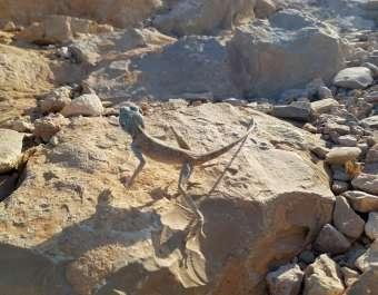 חרדון סיני בתקופת החיזור בגן לאומי מצדה. צילמה טל חיוט רשות הטבע והגנים