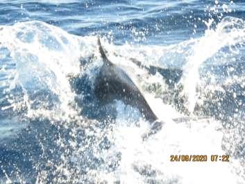 דולפיננים - מנור גורי