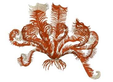 חבצלת ים רבגונית