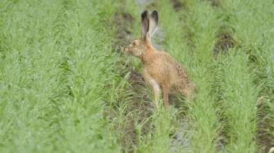 ארנבת שדה - שי קבסה