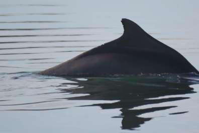 דולפין מגובנן - צילם עומרי עומסי