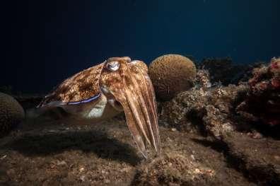 נקבת דיונון הדבקת ביצים על אלמוג - - עומרי עומסי 1
