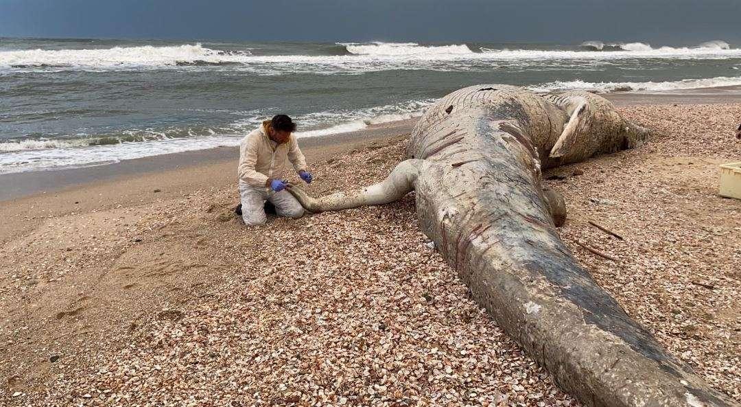 לוויתן שנסחף לחוף