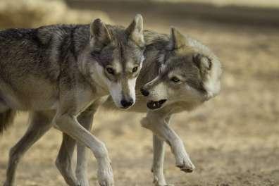 מזון זמין רב שמקורו בפסולת של האדם גורם לזאבים להסתובב ליד היישובים. צילום דורון ניסים