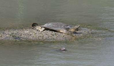 צב רך בנחל תנינים - צילם דותן רותם, רשות הטבע והגנים