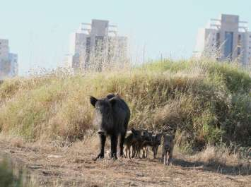 חזירי בר ליד ישוב - צילם עזרא חדד, רשות הטבע והגנים