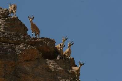 יעלים על המצוקים בשמורת הטבע עין גדי - דותן רותם