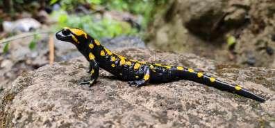 סלמנדרה בשמורת הבניאס - צילם עופר שנער, רשות הטבע והגנים