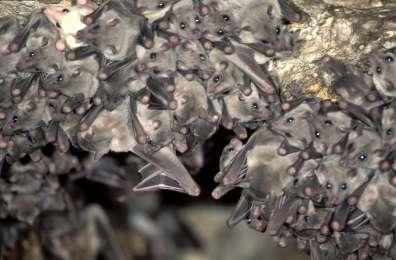 עטלפי פרי מצוי - צילם עמרם צברי רשות הטבע והגנים