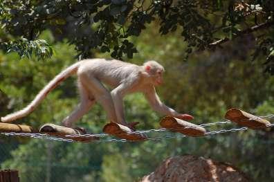 קופי המנגבי במקלט הקופים הישראלי_צילום צחי אייזנברג