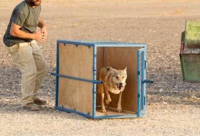 שחרור הזאב לטבע - צילם דורון ניסים