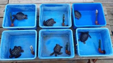 ששת צבי הים שניצלו מהזפת