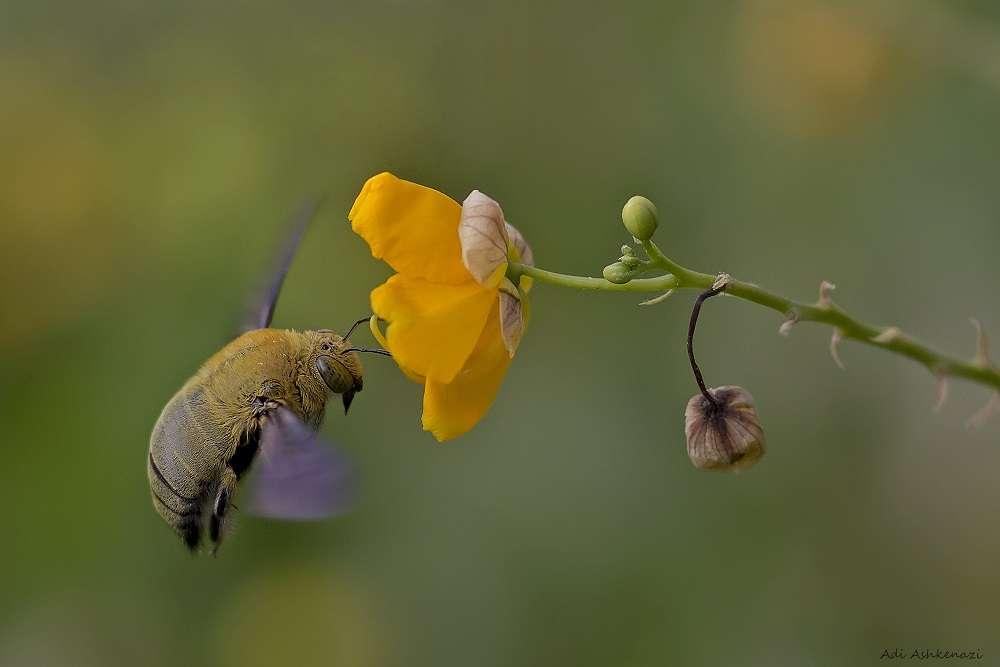 דבורה לי - דבורת בר מאביקה