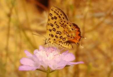 הפרפר כחליל הגליל- צילום ישראל פאר