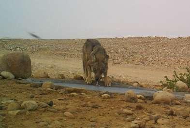 זאב שותה משוקת מים במושב פארןצילום: מצלמת מעקב