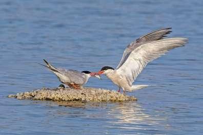 זוג שחפיות ים בעת הקינון- צילום יוסי אשבול