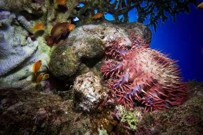 כוכב הים כוכבן קוצני טורף האלמוגים במפרץ אילת- צילום עמרי יוסף עומסי