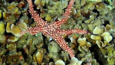 כוכב במעמקים - כוכב הים מהמין Gomophia egyptiaca צולם מול נמל אילת, בעומק 42 מטר, על גבי אלמוג מהסוג Pavona צילום: מצלמת הסקר