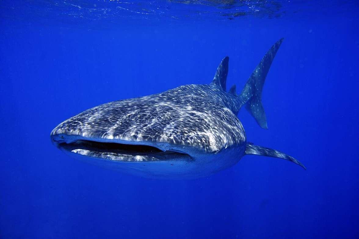 כריש לוויתן צעיר שנצפה במפרץ אילת