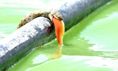 נחש מים צד דג זהב- שי קבסה