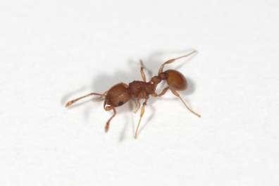 נמלת האש הקטנה- צילום חרקים - עולם קטן בגדול