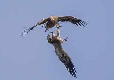 נשרים בשמי הכרמל - עימות בין נשרים בכרמל