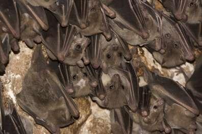 עטלפי פירות מהמין עטלף פרי מצוי- צילום אייל ברטוב