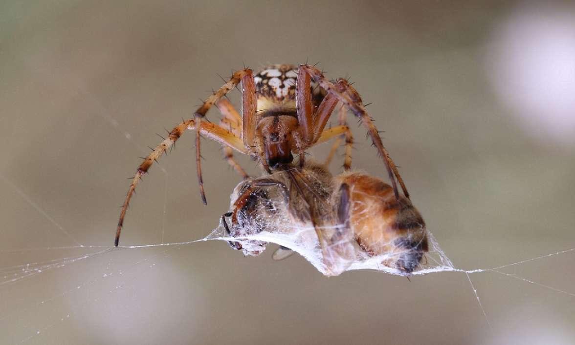 עכביש גלגלית קשוטה ניזון מדבורת דבש - צילום ענת פורז