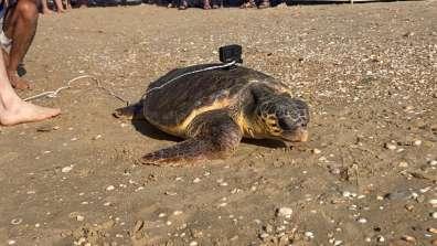 שחרור צבת הים טנגה - שלומית שביט