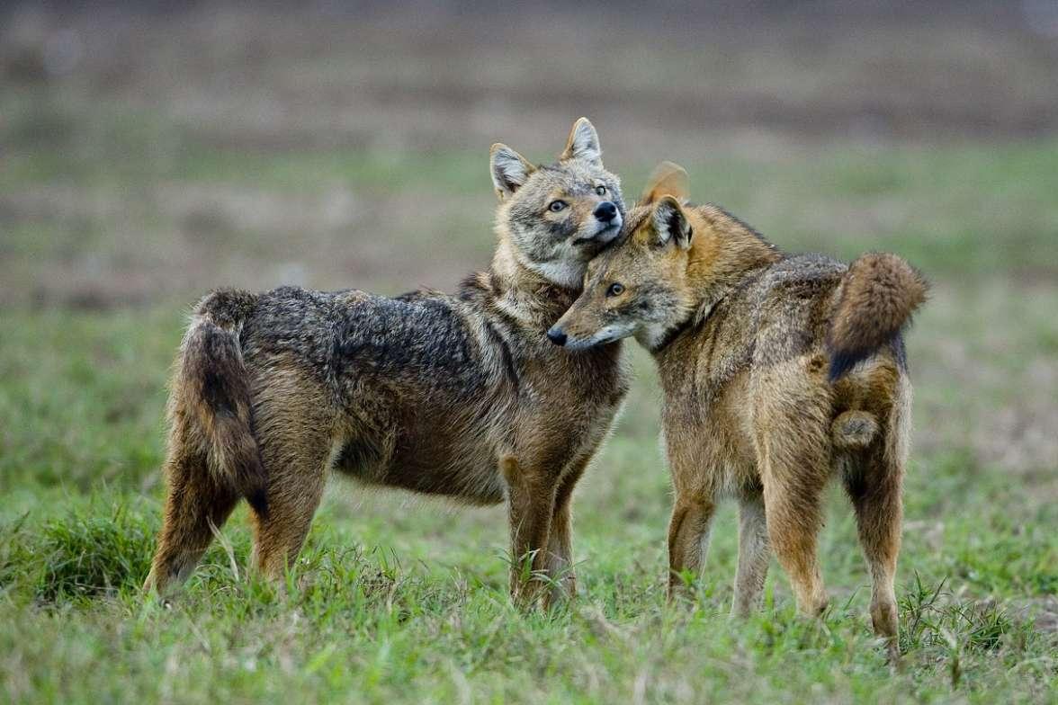 תנים זהובים בצפון הארץ- צילום אייל ברטוב